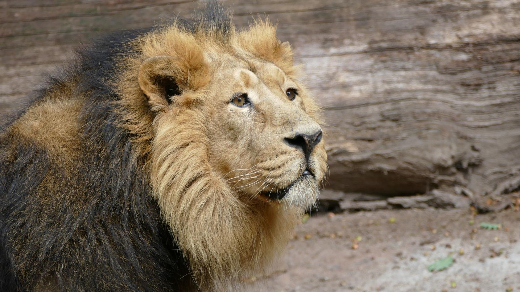 Löwenmännchen Subali im Nürnberger Tiergarten
