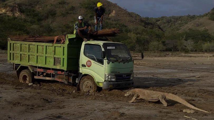"""Beim Bau der Tourismus-Attraktion """"Jurassic Park"""" auf Rinca treffen Arbeiter auf einen Komodowaran."""
