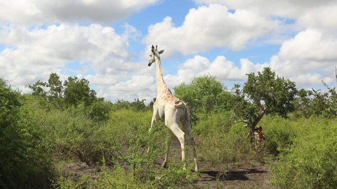 Die einzig verbleibende weiße Giraffe lebt in Kenia.