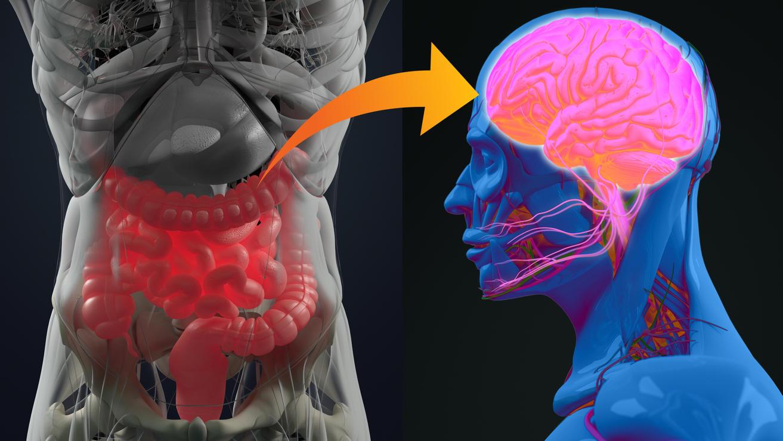 Darm-Hirn-Verbindung oder Darm-Hirn-Achse