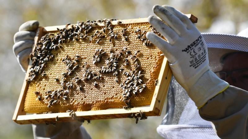 Ein Imker kontrolliert seine Bienenwaben. Foto: Patrick Seeger/dpa/Archivbild