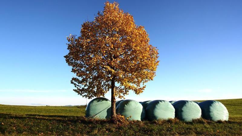 Silageballen liegen im Sonnenschein unter einem Baum mit herbstlich verfärbten Blättern. Foto: picture alliance / dpa/Archivbild