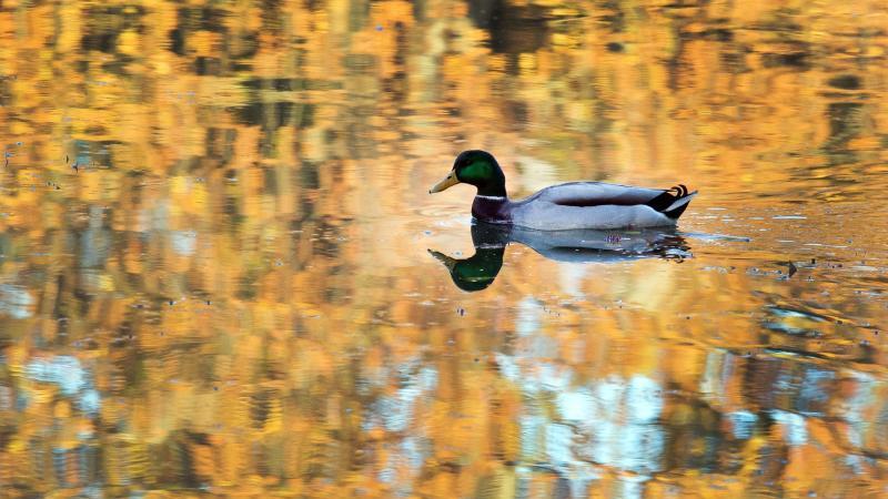 Eine Ente schwimmt in einem Park in einem Teich. Foto: Federico Gambarini/dpa/Archivbild