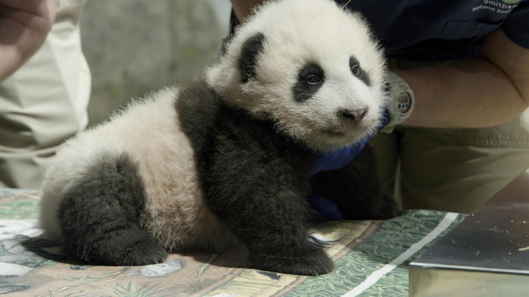 Drei Monate nach seiner Geburt hat das Pandababy im Zoo der US-Hauptstadt Washington endlich einen Namen.