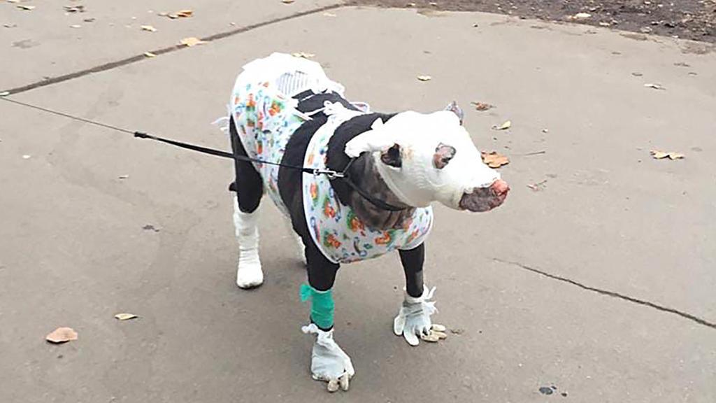 Verletzer bandagierter Hund auf der Straße