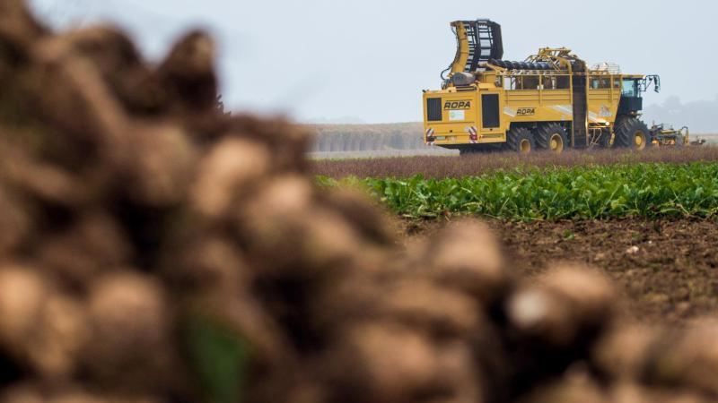 Zuckerrüben werden geerntet. Foto: picture alliance / dpa/Symbolbild