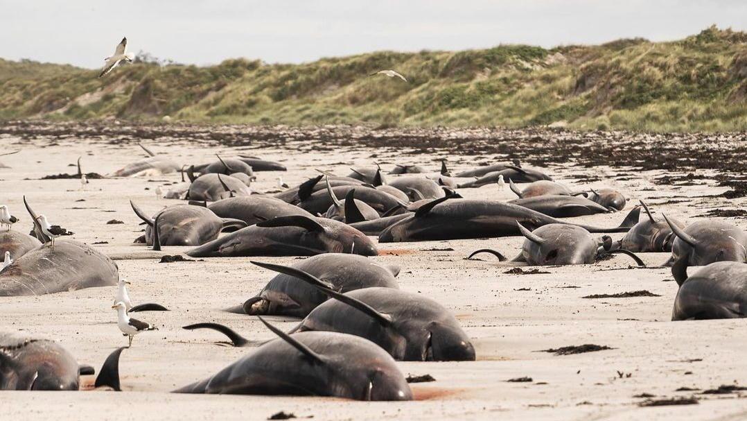 97 Grindwale und drei Delfine starben am Waitangi West Beach auf den Chathaminseln.
