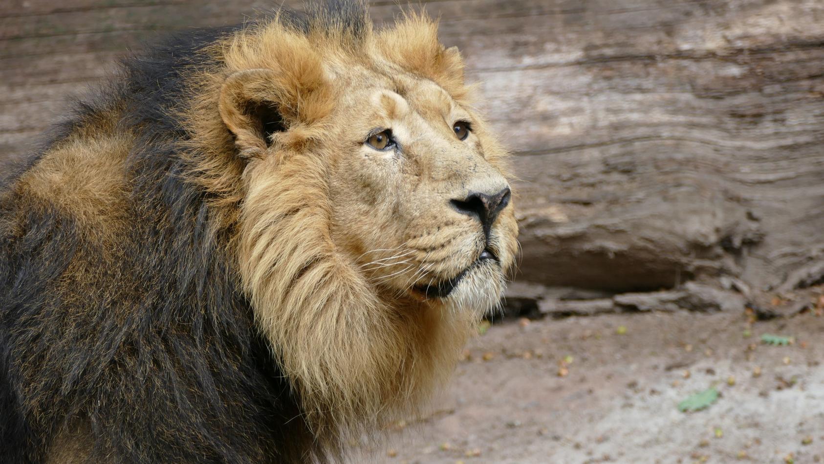 Das Löwenmännchen Subali  könnte getötet werden, weil es unfruchtbar ist.