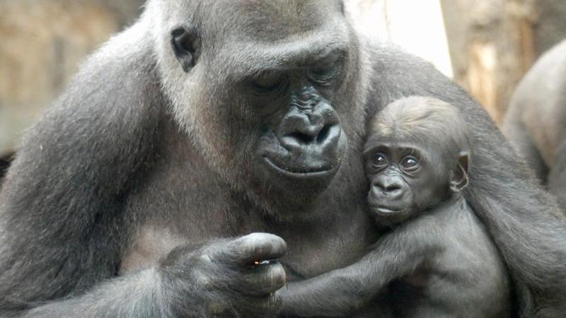 Gorilla Shira hält in ihrem Gehege im Frankfurter Zoo ihren Sohn Arco in den Armen. Foto: Zoo Frankfurt/dpa/Archivbild