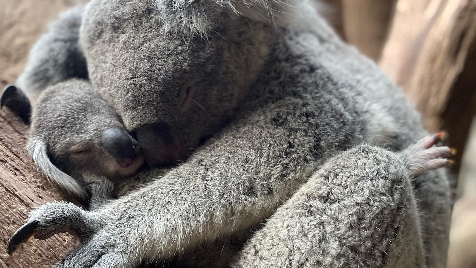 Koala-Mama Mandie kuschelt mit ihrem Baby im Zoo Leipzig. Foto: Zoo Leipzig.