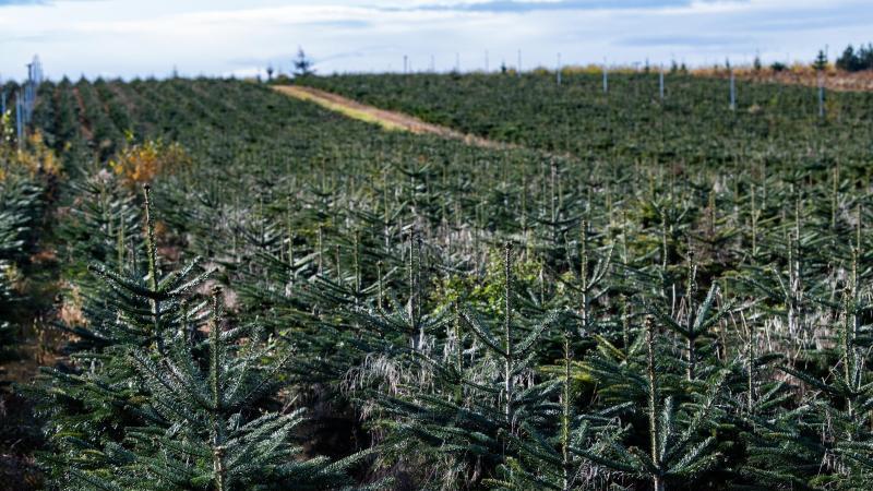 Blick auf ein Feld, auf dem Tannebäume gezüchtet werden. Foto: Paul Zinken/dpa-Zentralbild/ZB/Symbolbild