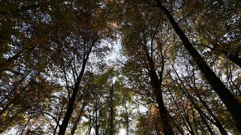 Bäume mit lichten Baumkronen ragen im Frankfurter Stadtwald in die Höhe. Foto: Arne Dedert/dpa/Archivbild