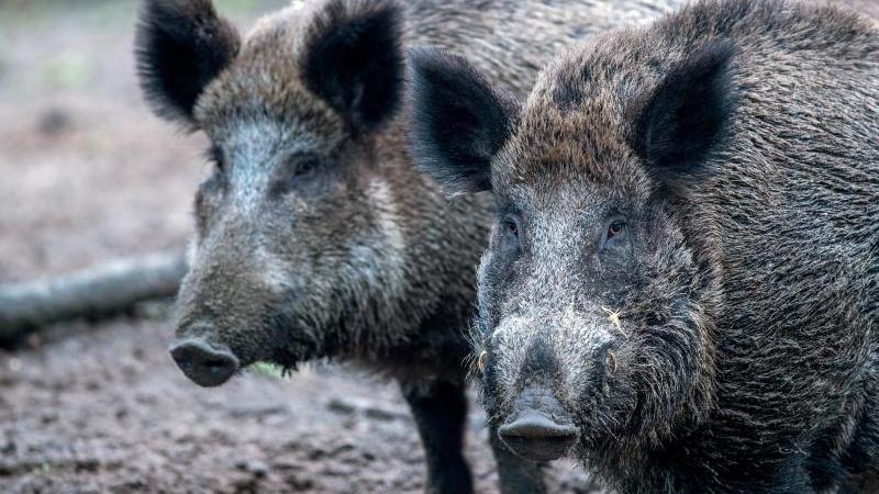 Wildschweine stehen in einem Wildgatter. Foto: Jens Büttner/ZB/dpa/Archivbild
