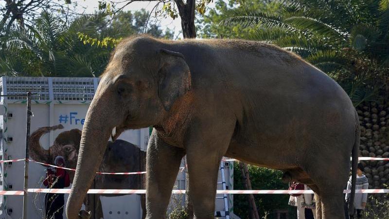 Elefant Kaavan im Maragzar-Zoo in Islamabad vor seinem Abflug nach Kambodscha. Foto: Anjum Naveed/AP/dpa