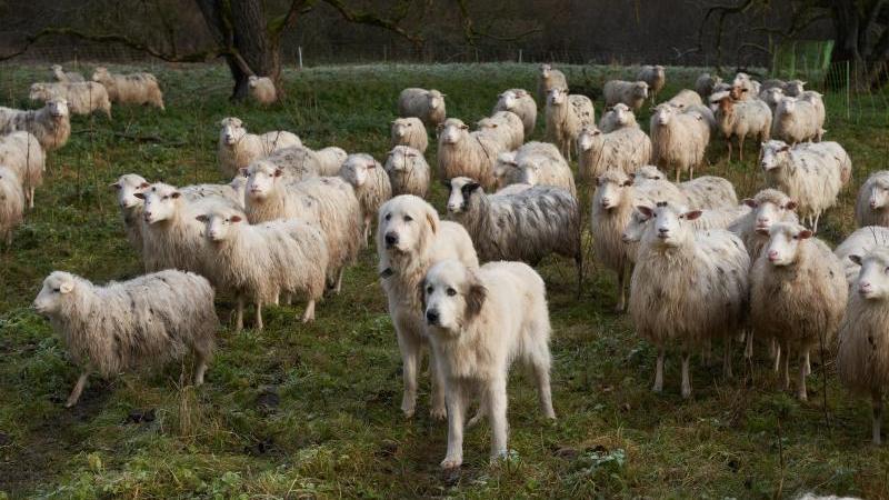 Zwei Herdenschutzhunde stehen in einer Schafsherde. Foto: Thomas Frey/dpa