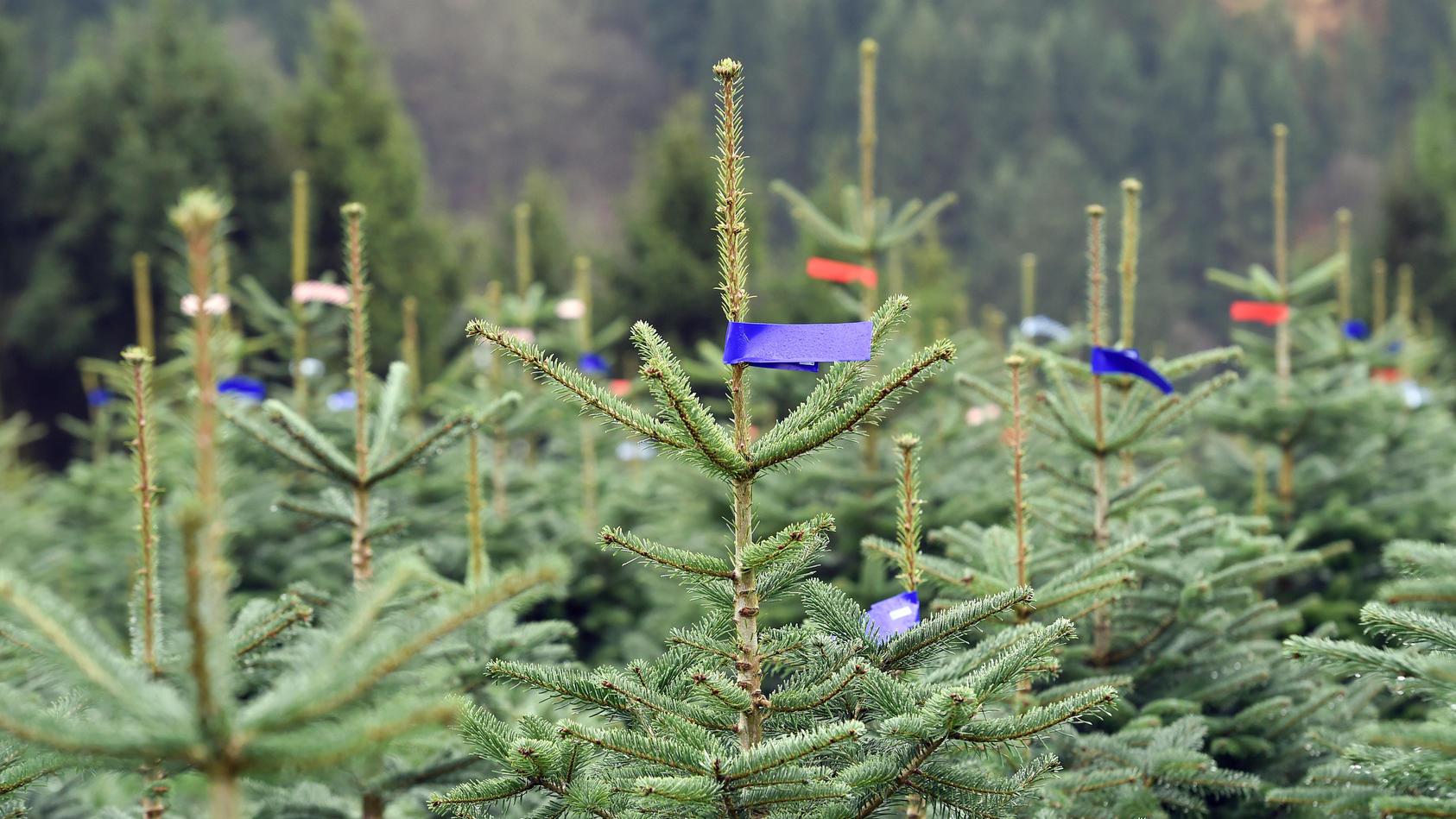 Eröffnung der Weihnachtsbaumsaison