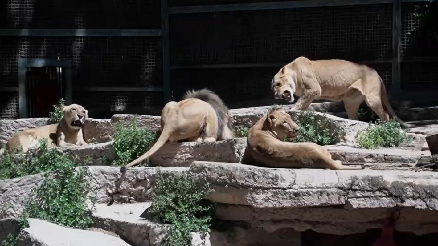 Den vier spanischen Löwen geht es zum Glück wieder gut.