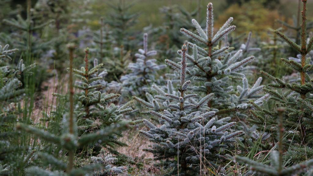 Weihnachtsbaum-Schonung im Sauerland Weihnachtsbaeume im Sauerland am 08.10.2020 in Wenden/Deutschland. *** Christmas tree protection in Sauerland Christmas trees in Sauerland on 08 10 2020 in Wenden Germany