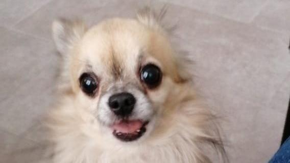Der neunjährige Chihuahua Toni verlor seine Eltern. Die Tiernothilfe Leipzig e.V. hat ihm geholfen und ein kleines Weihnachtswunder beschert.