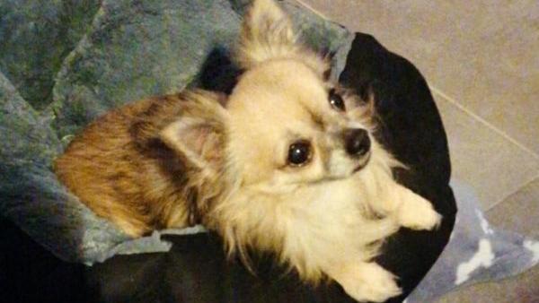 Chihuahua Toni ist herzkrank, bekam aber trotz seines Alters und Erkrankung eine neue Familie kurz vor Weihnachten.