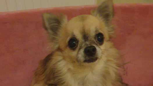 Die Tiernothilfe Leipzig e.V. ist ein rein ehrenamtlicher Verein und hat sich um den herzkranken Chihuahua Toni liebevoll gekümmert.