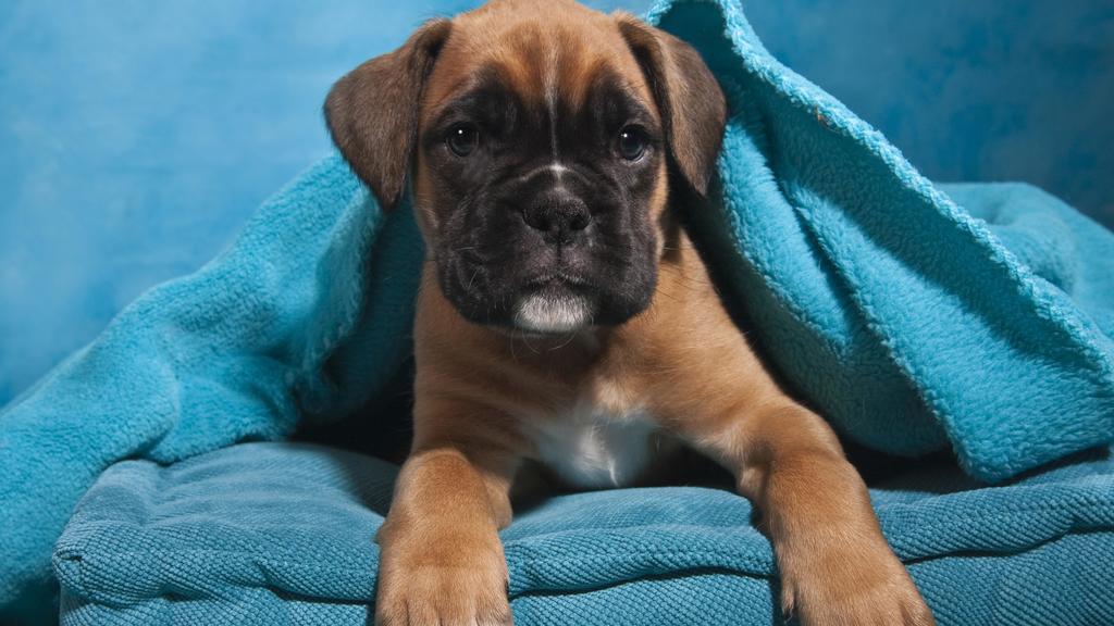 Boxer Welpe, in Decke eingehüllt | Verwendung weltweit, Keine Weitergabe an Wiederverkäufer.