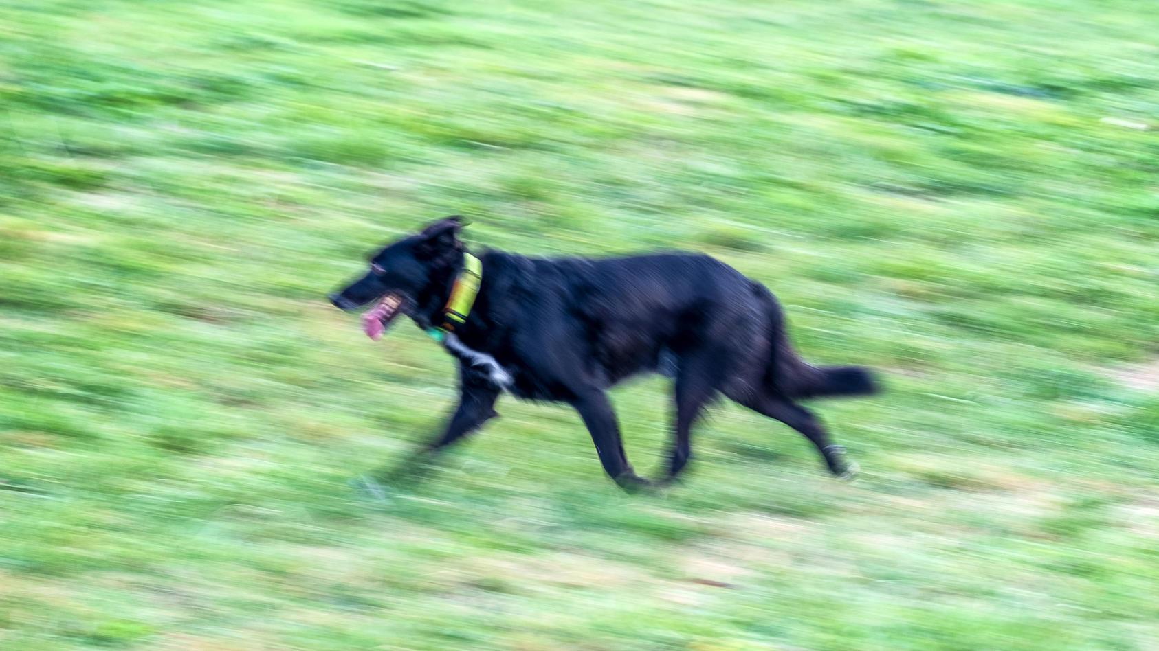Schwarzer Hund läuft über ein Feld (Symbolbild).