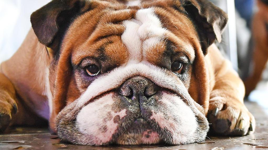 Auch Bulldoggen werden Online verscherbelt, weil Herrchen oder Frauchen sie nicht mehr haben wollen. (Symbolbild)