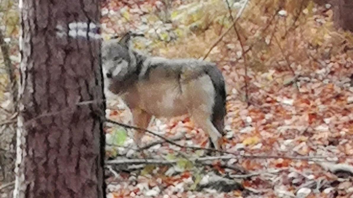 Ein Wolf steht im Wald bei Hünxe am Niederrhein (Symbolbild.)
