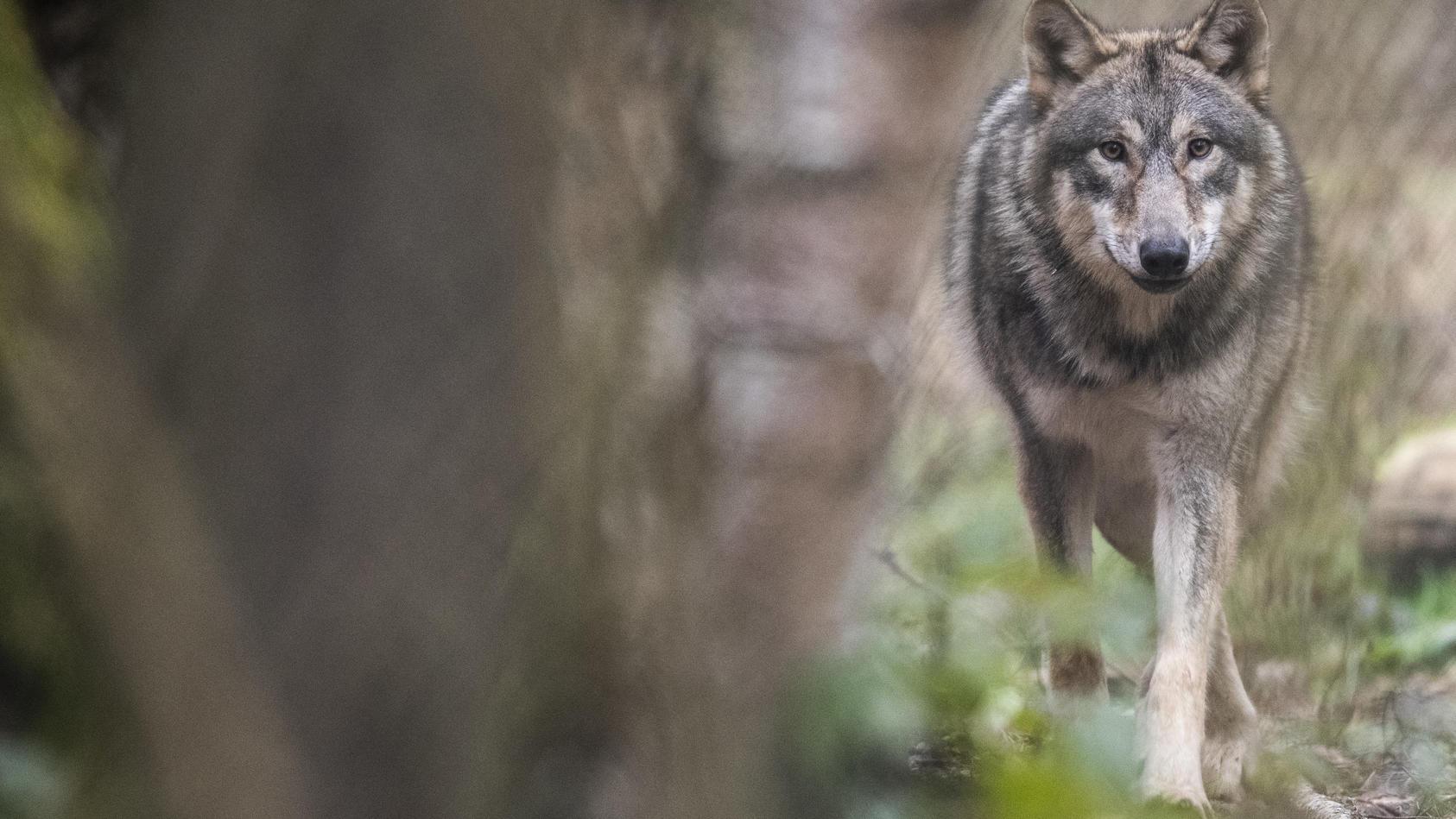 Spaziergänger hatten Ende September Wolfssichtungen im Hermann-Löns-Park in Hannover gemeldet. (Symbolbild)