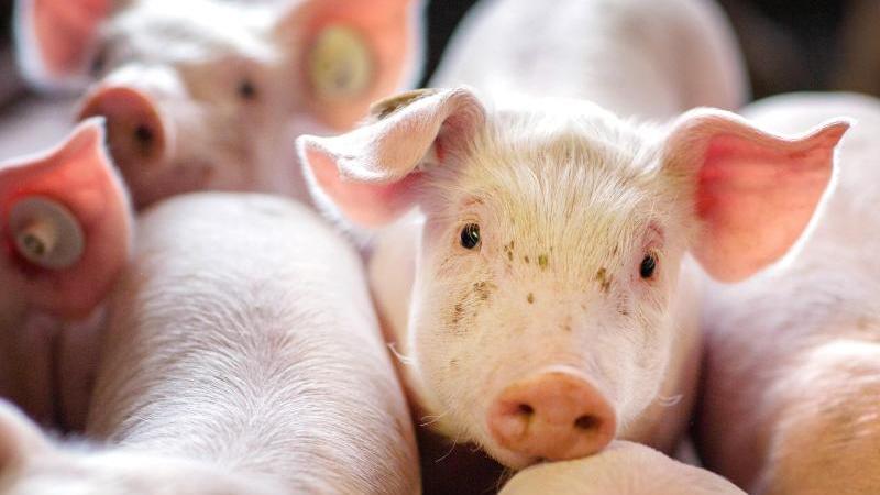 Ferkel stehen in einer Schweinezuchtanlage in einer Box. Foto: Jens Büttner/zb/dpa/Symbolbild