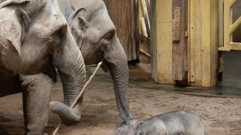 Elefantenbaby Yaro schläft neben seiner Mutter Douanita (l, 33) und seiner Schwester Sita (M, 8) im Zoo Osnabrück. Foto: Friso Gentsch/dpa/Archivbild