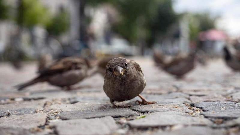 Spatzen suchen nach Futter zwischen Pflastersteinen. Foto: Paul Zinken/dpa-Zentralbild/dpa