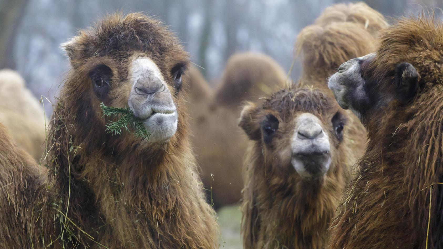 Im Tierpark Perleberg hat ein Kamel einen Tierpfleger schwer verletzt. (Foto: Motivbild)