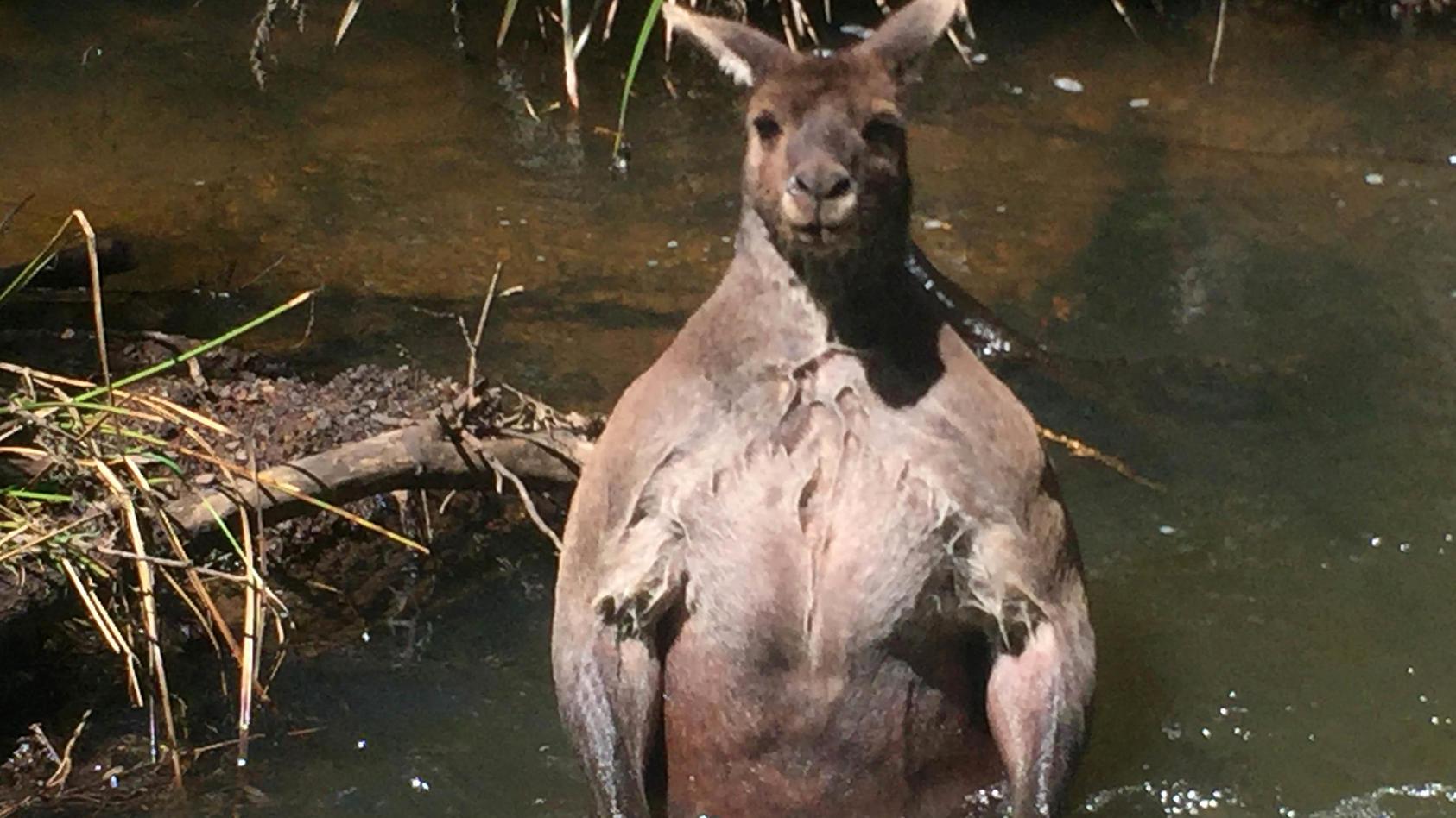 Auch nicht von schlechten Eltern: dieses muskulöse Känguru ist Mucki-Känguru Rogers Nachfolger Credit: Caters News Agency