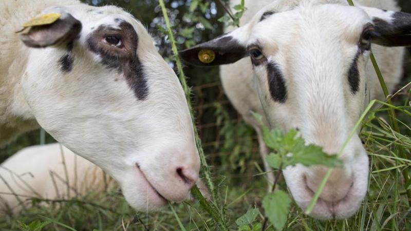 """Zwei Schafe der seltenen Rasse """"Bentheimer Landschaf"""" auf einer Weide. Foto: picture alliance/dpa/Archivbild"""