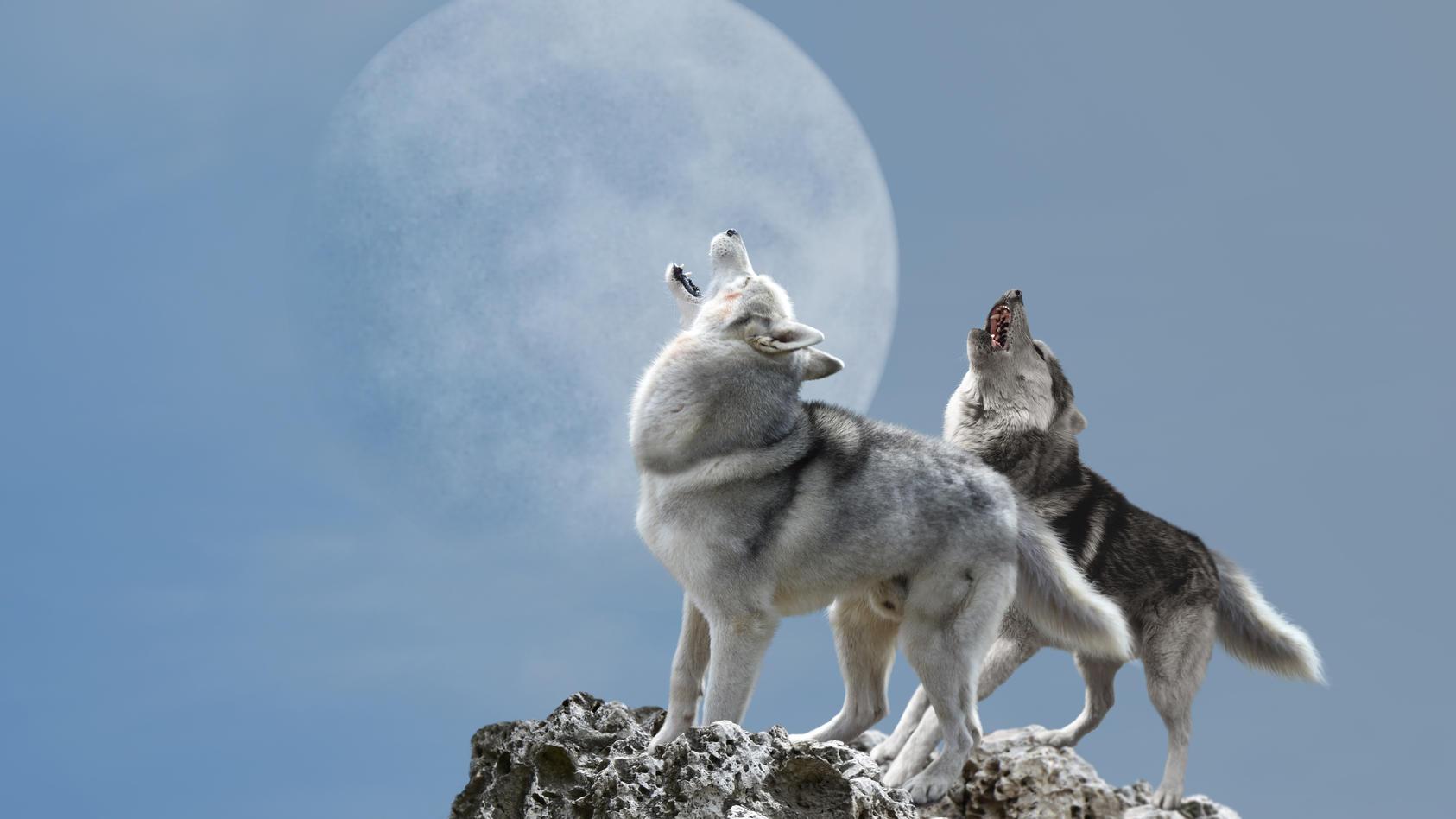 Der erste Vollmond des Jahres wird Wolfsmond genannt.