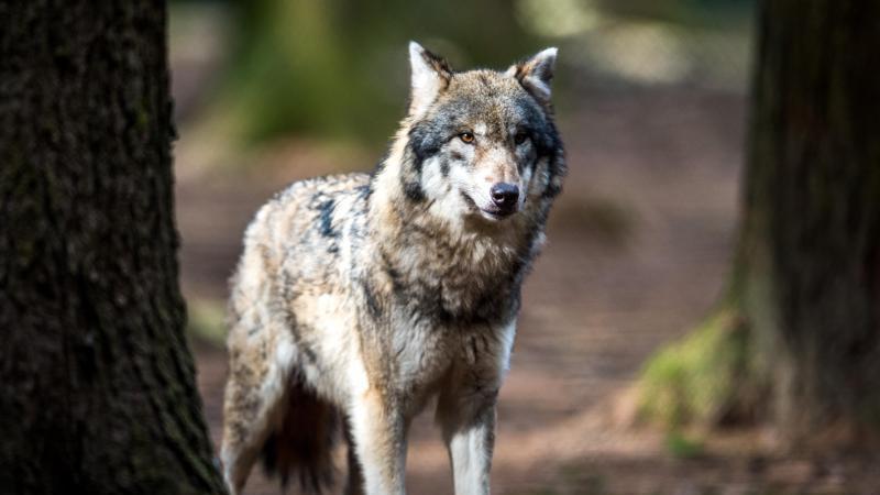 Ein Wolf. Foto: Alexander Heinl/dpa/Symbolbild
