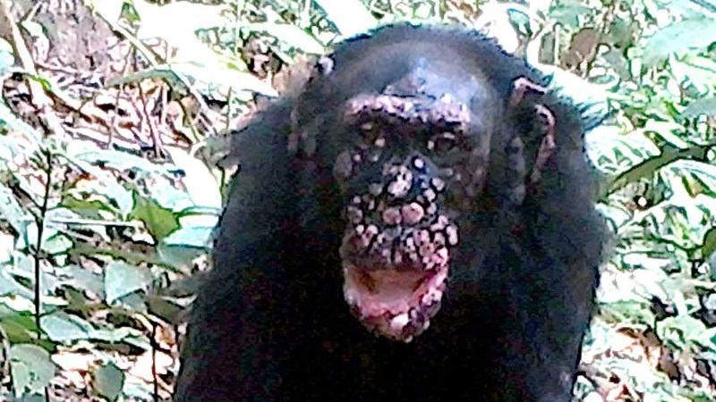Ein wildlebender Schimpanse mit einer Lepra-Erkrankung.