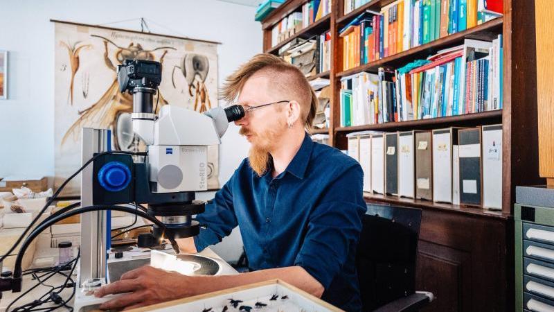 Der Wespenspezialist und Kurator der Insektensammlung am Übersee-Museum Bremen, Dr. Volker Lohrmann, am Mikroskop. Foto: Jonas Ginter/WFB/dpa/Archiv