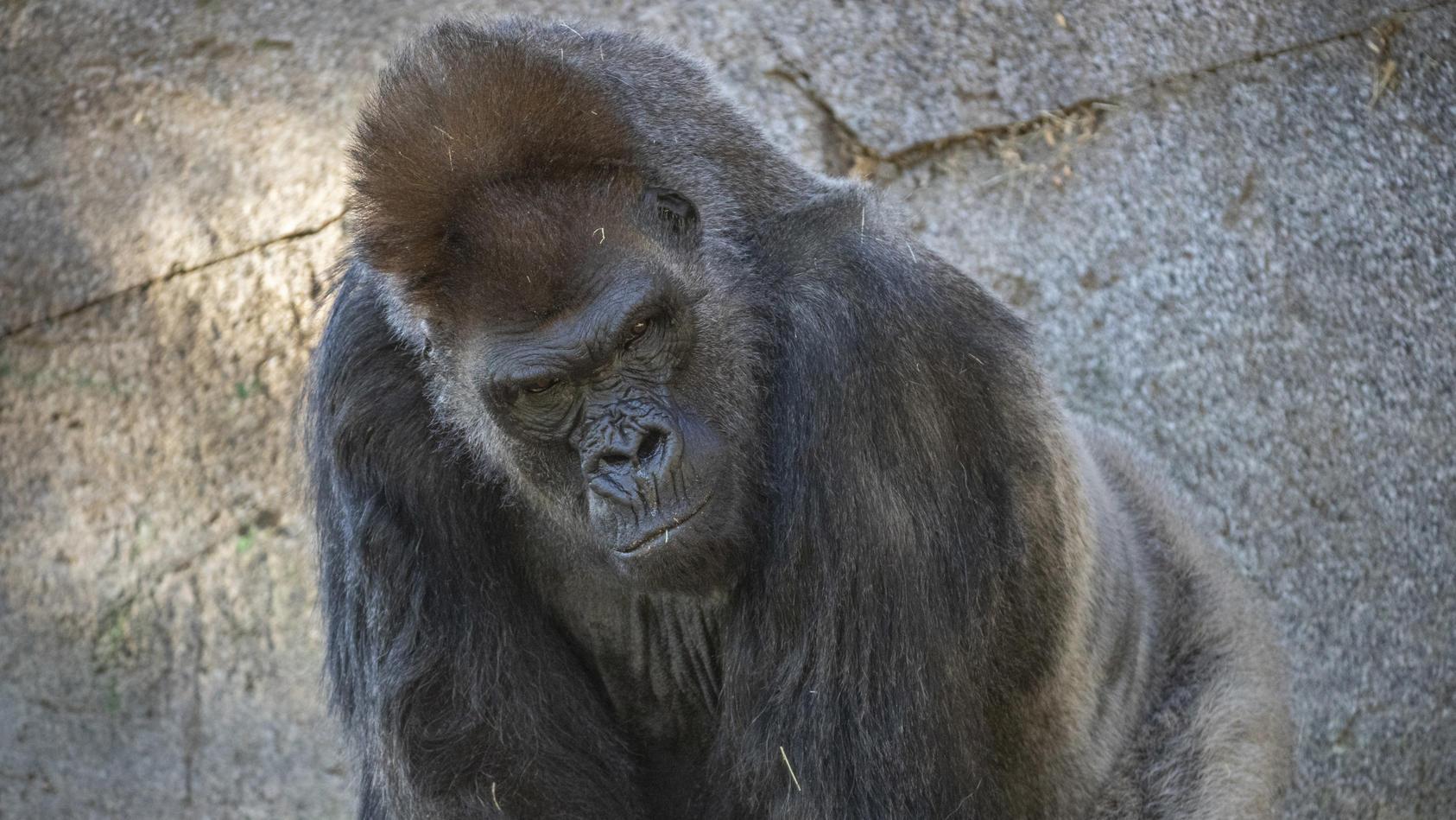 Älterer Gorilla erholt sich dank Therapie von Corona-Infektion