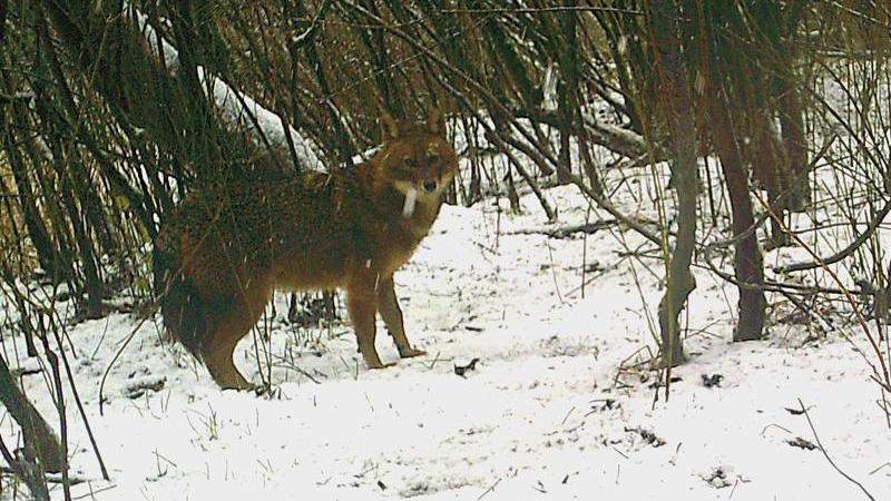 Ein Goldschakal steht in einem verschneiten Waldstück bei Rastatt, fotografiert von einer automatischen Fotofalle. Foto: Fotofalle/Landratsamt Rastatt/dpa/Aktuell