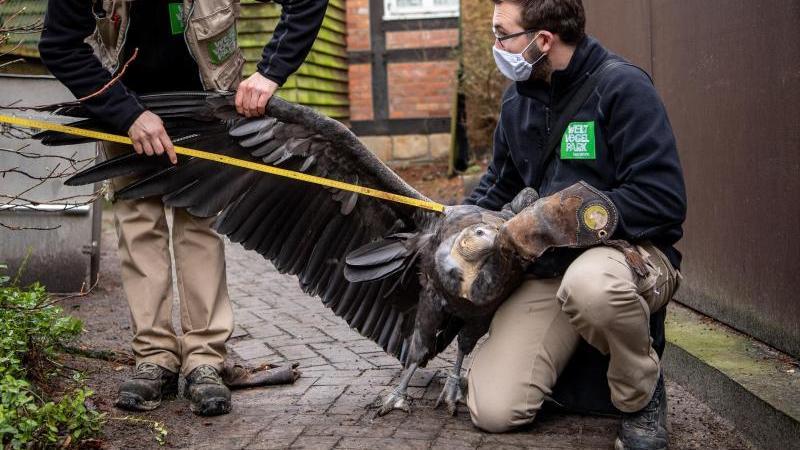Die Tierpfleger messen im Vogelpark Walsrode die Spannweite von einem Andenkondor. Foto: Sina Schuldt/dpa