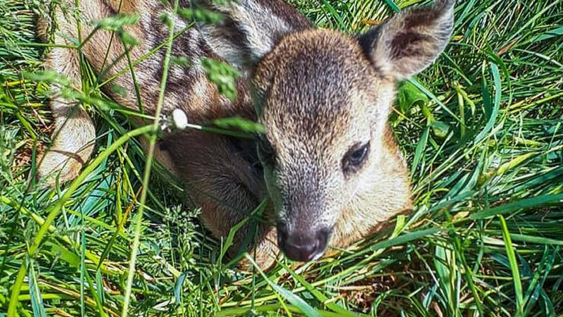 Ein kleines Rehkitz liegt im hohen Gras. Foto: ---/Wildtierrettung/dpa