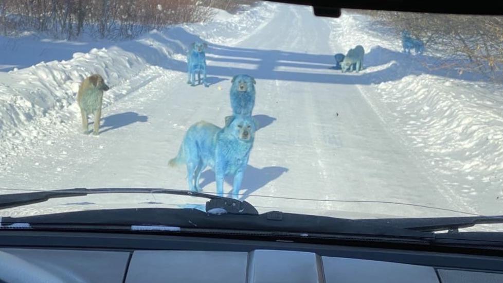 Blaue Hunde in Russland