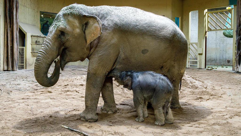 Osnabrueck, Deutschland 22. Dezember 2020: Das Elefantenbaby Yaro ist im Zoo Osnabrück geboren. In der Nacht von Sonntag auf Montag ist der erste in Osnabrück gezeugte Elefant zur Welt gekommen. Niedersachsen *** Osnabrueck, Germany 22 December 2020