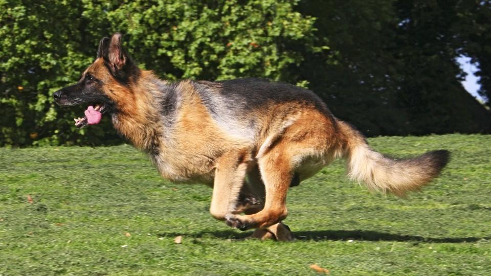 Deutscher Schaeferhund (Canis lupus f. familiaris), ueber eine Wiese laufend, Deutschland | German Shepherd Dog (Canis lupus f. familiaris), running through a meadow, Germany | Verwendung weltweit