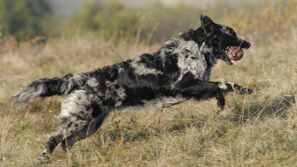 Hund apportiert einen Ball über eine Wiese