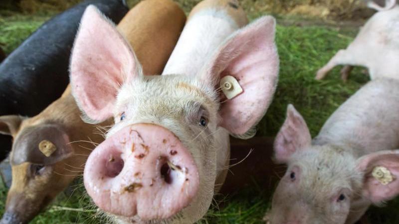 Schweine stehen bei einem Bio-Landwirt in Tautendorf im Stall. Foto: arifoto UG/dpa-Zentralbild/dpa/Archivbild