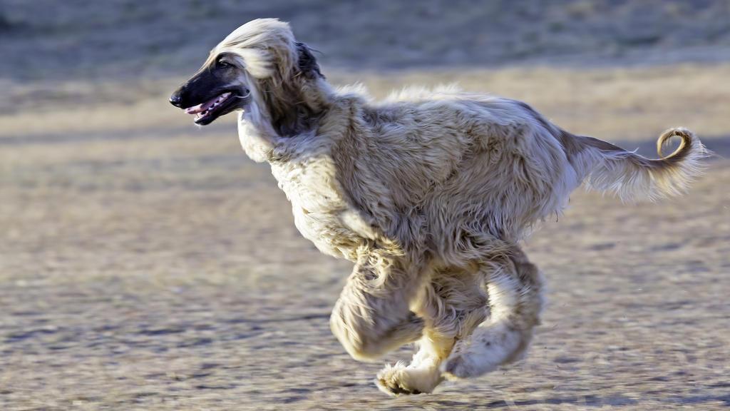 Afghanischer Windhunde sind sehr schwer zu erziehen..